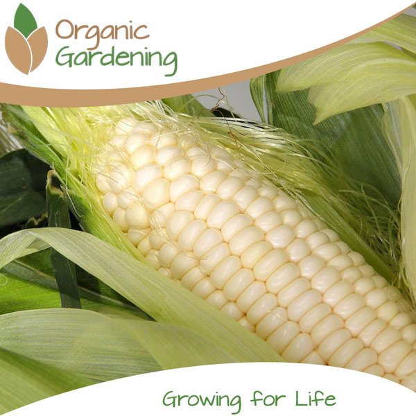 Maize Zama Star Organic Gardening